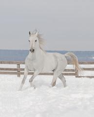 white arabiane horse