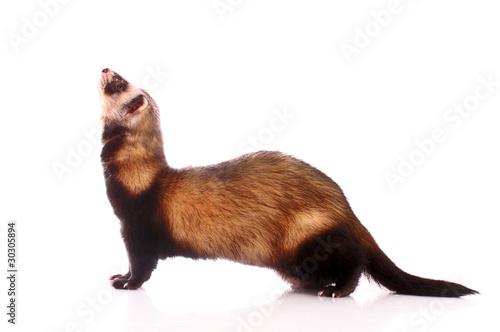 Fotografering  Ferret isolated on white