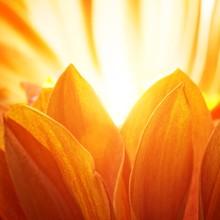 Beautiful Petals Of An Orange ...