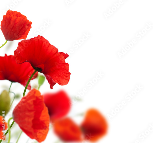 Obraz summer scene, red poppies isolated on white - fototapety do salonu