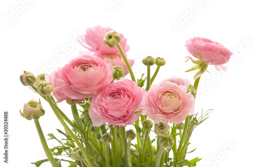 Fotografia bunch of pale pink ranunculus (persian buttercup); isolated on w