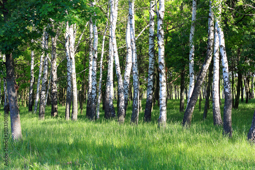 Deurstickers Berkbosje Birchwood shined with the sun