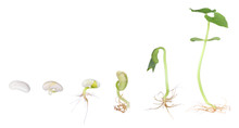 Bean Plant Growing Isolated