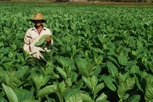 Cueilleur De Tabac, Cuba