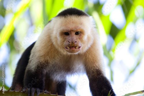 Angry capuchin monkey Billede på lærred