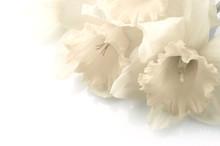 White Narcissus Over White Background