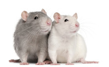 Two Rats, 12 Months Old, In Fr...