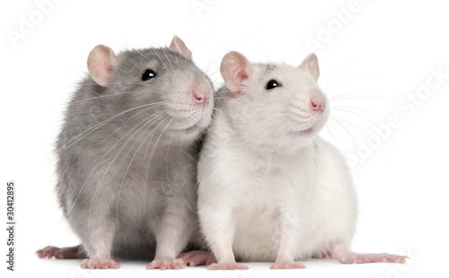 Fototapeta Two rats, 12 months old, in front of white background