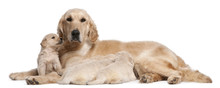 Golden Retriever Mother, 5 Years Old, Nursing And Her Puppies