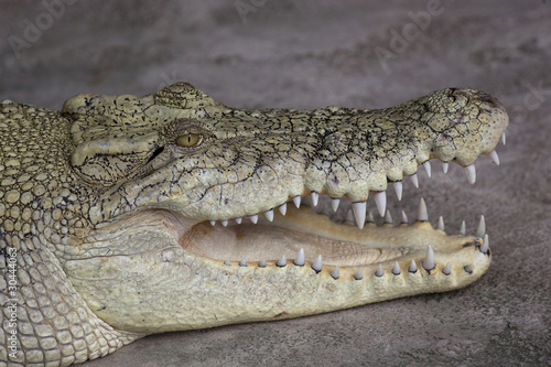 Photo Stands Crocodile Leistenkrokodil