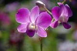 storczyk kwiat kwiatek