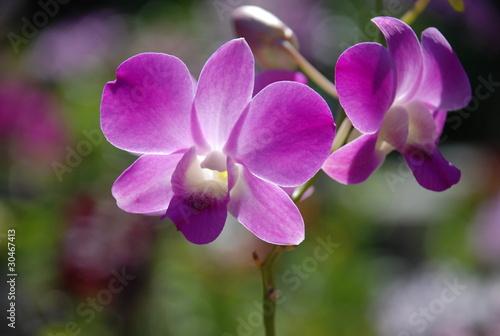 storczyk kwiat kwiatek - 30467413