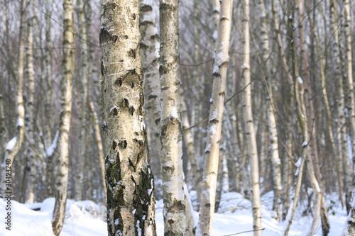 Deurstickers Berkbosje birkenwald