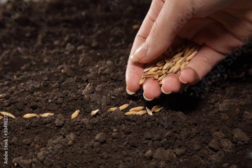 Fotografie, Obraz  sowing weat
