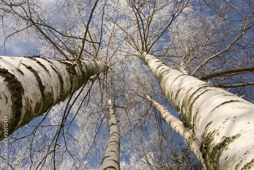 zimowe-brzozy-w-kolorze-bialym-na-tle-nieba