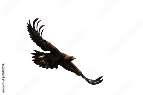Poster Aigle fliegender Steinadler 2