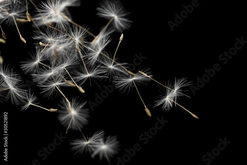 Seeds of dandelion, isolated on black