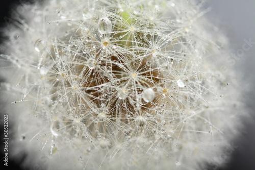 Montage in der Fensternische Lowenzahn und Wasser Head of dandelion, macro
