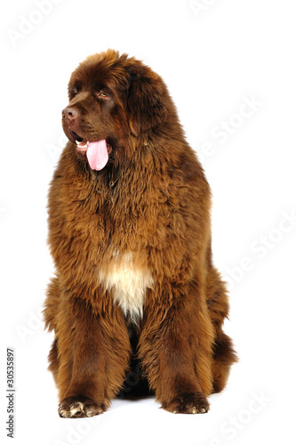 Fotomural Newfoundland dog in studio on a white background