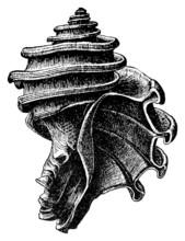 Ecphora Gardnerae