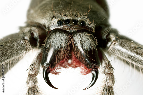 Spider, Huntsman, Holconia immanis, Large Australian spider with Canvas Print