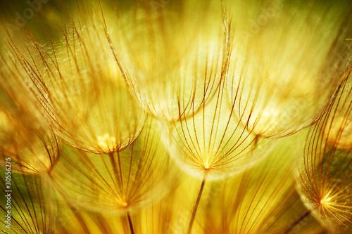 Montage in der Fensternische Lowenzahn und Wasser Soft dandelion flowers