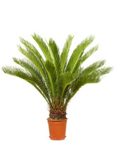 Cycas Zimmerpalme