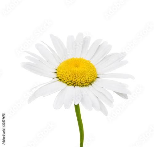 In de dag Madeliefjes Camomile flowers