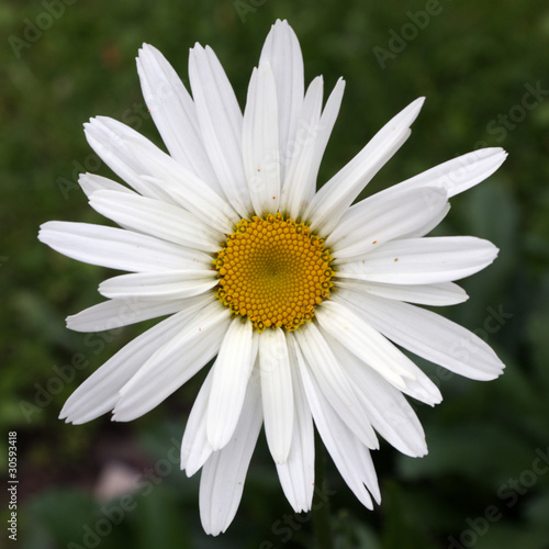 Fleur De Marguerite Buy This Stock Photo And Explore Similar