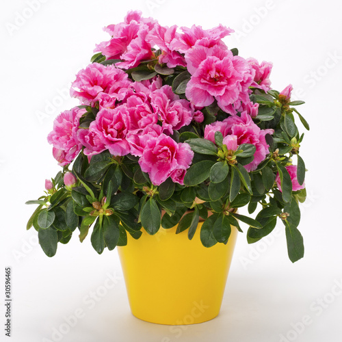 Blooming pink azalea in a yellow pot