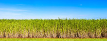 Panorama Of Sugar Cane Plantat...