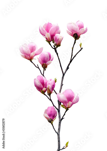 Staande foto Magnolia Pink magnolia flowers isolated on white background