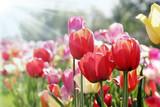 Fototapeta Tulipany - frühlingssonne auf tulpenbeet