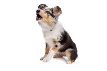 Shelty Or Shetland Sheepdog Pu...