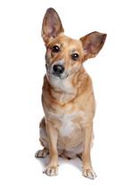 Mixed Breed, Dingo