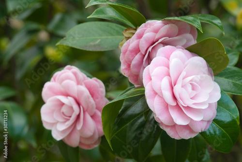 Fényképezés camellia