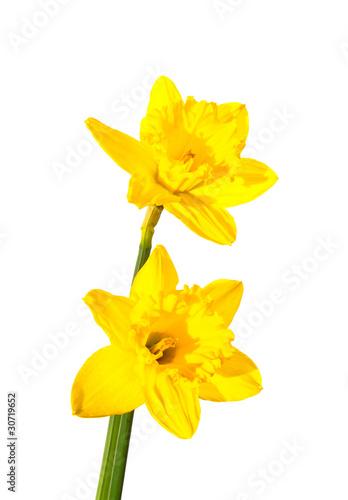 Fotobehang Narcis daffodil flower.
