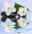 fleurs blanches de frangipanier sur galets noirs