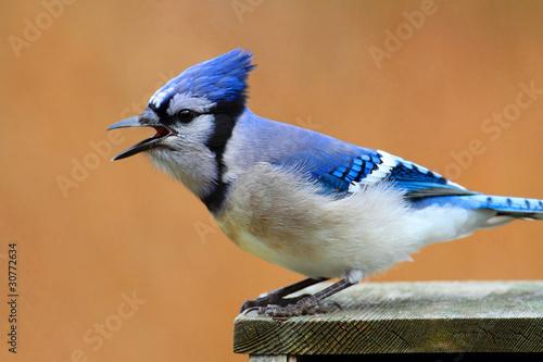 Sticker - Blue Jay Calling
