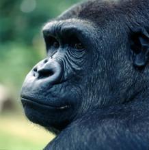 Gorilla_116279
