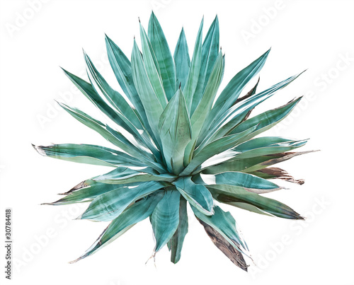 Blue agave on a white background Canvas Print