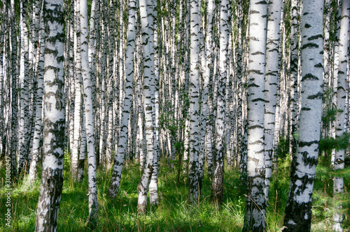 Photo Stands Birch Grove Birchwood in sunny day