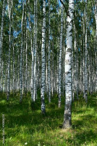 Spoed Fotobehang Berkbosje Birchwood in sunny day