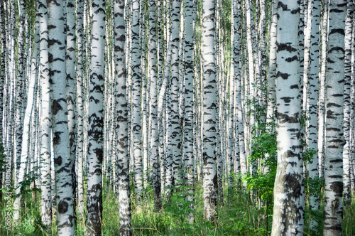 Canvas Prints Birch Grove Birchwood in sunny day