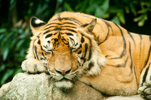 A Sleeping Bengal Tiger In A Zoo