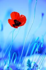 Fototapeta Optyczne powiększenie Poppy flowers meadow