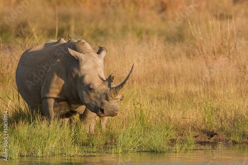 Deurstickers Neushoorn rhino