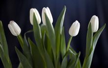 Les Cinq Tulipes Sur Fond