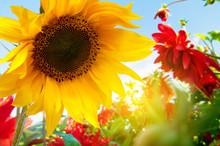 Spring Flowers, Sunflowers In The Sunny Garden