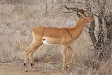 Impala Ram Browsing